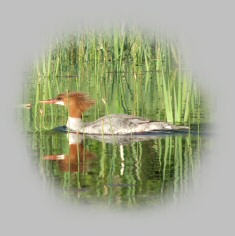 Merganser duck